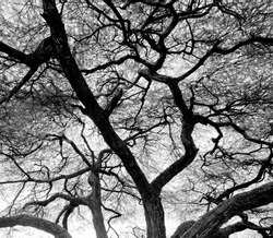Detailed tree branches in Lake Manyara National Park - Tanzania, East Africa (black and white)