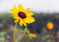 Detailed view of a budding and flowering sunflower plant against a blurred natural background. The plant is growing in a Dutch field margin landscaped to promote biodiversity.