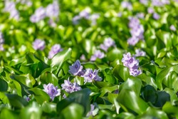 Detailed view of a common green water hyacinths on the lake bank...