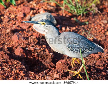 Detailed view of a Green backed Heron walking across a red earth background