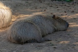 Detailed view of capybara, lying and resting by day in Portugal