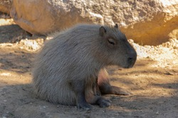 Detailed view of capybara, sitting and resting by day, in Portugal