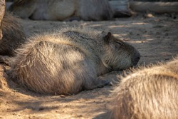 Detailed view of capybaras, lying and resting by day in Portugal