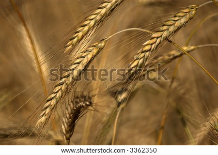 Detailed view of rye stems.Shallow DOF. - stock photo