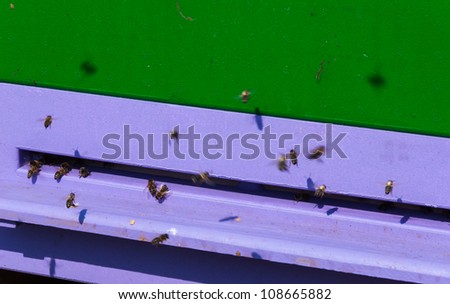 Detailed view of western honey bees at the purple entrance of their beehive.