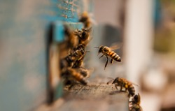 detailed view of working bees in a bee hive. blurred background. Close up of flying bees. Wooden beehive and bees. bees flying back in hive after an intense harvest period.