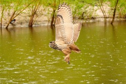 Detailed wild Eagle Owl, the bird of prey flies with spread wings over a green lake. Looking for prey in the water. Sandy beach with grass in the background