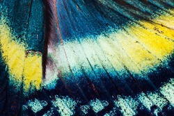 Detailed wing of Alcides orontes, large Uraniidae butterfly living in Indonesia