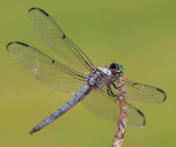 Detailed wings on a blue dragonfly with a green background