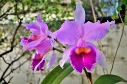 Details and delicacy of the pink flower of the Orquidea Cattleya trianae in the backyard of the house