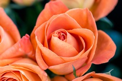 Details and vibrance colors of orange roses blooming with dew, view from the top, macro of flower petals can use for background..