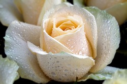 Details and vibrance of white roses blooming with dew, view from the top, macro of flower petals can use for background.