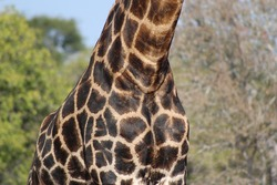Details of a giraffe in the Kruger National Park.