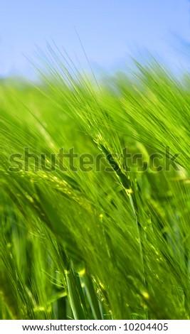 Details of a green wheat field, grain, corn.