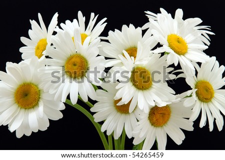details of a oxeye daisy isolated on black:leucanthemum vulgare