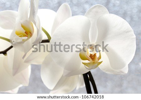 details of a Phalaenopsis blossom, before a window built with a special glass opaque