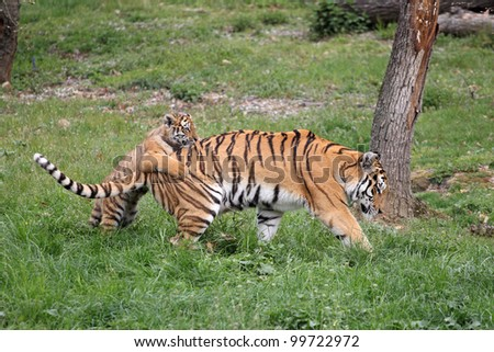 details of a tigress with her cub