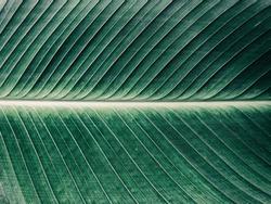 Details of big green leaf, Close up of leaf texture background, Abstract green line background, Vintage tone