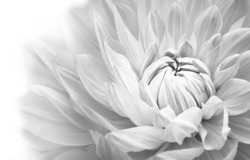 Details of blooming white dahlia fresh flower macro photography. Black and white photo emphasizing texture, contrast and intricate floral patterns merging in a white background.
