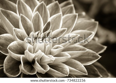 Details of dahlia fresh flower macro photography. Sepia photo emphasizing texture and intricate floral patterns.