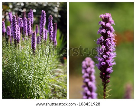 details of flower, the Liatris spicata