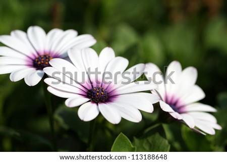 details of osteospermum ecklonis or cape daisy