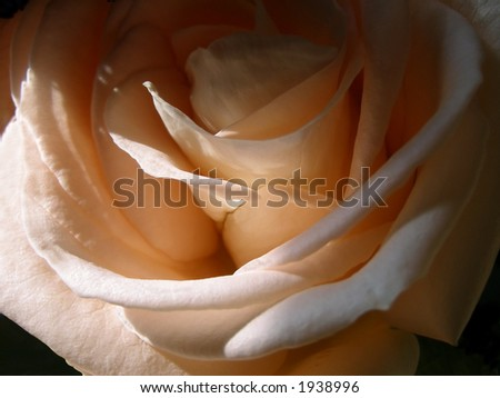 Details of pale pink rose.