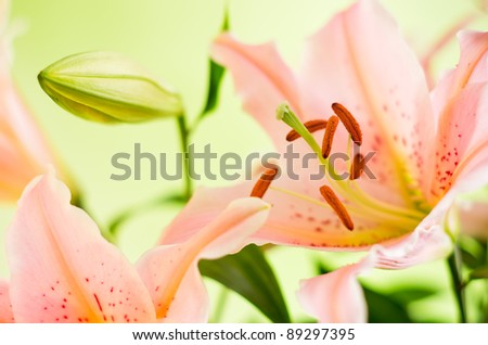 details of pink lily flowers on green background