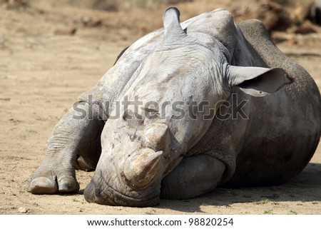 details of  rhinoceros in captivity #98820254