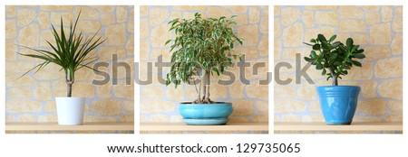 Details of three potted plants, dracaena marginata,ficus benjamina, crassula ovata