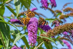Details of three thistle butterflies on a flower of a Buddleia bush in Zoetermeer, Netherlands-7