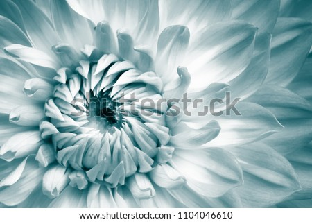 Details of white and light blue dahlia fresh flower macro photography. Color toned photo with greenish turquoise tones emphasizing texture and intricate floral patterns. #1104046610