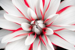 Details of white dahlia flower with red lines macro close up photography. Dahlia floral head in the centre as abstract intricate floral patterns with pink red stripes.