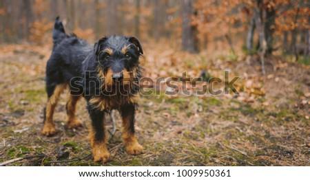 Deutscher Jagdterrier, German hunting terrier black and tan, in the forest. #1009950361