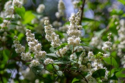 Deutzia scabra fuzzy pride of rochester white flowers in bloom, crenate flowering plants, shrub branches with buds and green leaves, Candidissima cultivar