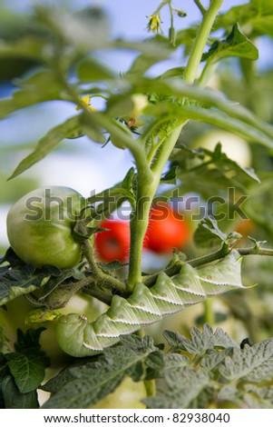 Devastating Tomato Horn-worm eats healthy tomato plant