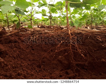 development of soybean root Stock foto ©