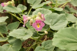 Devil's Claw (Proboscidea) Plant in Bloom
