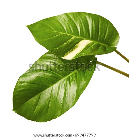 Devils ivy golden pothos epipremnum aureum heart shaped leaves devils ivy golden pothos epipremnum aureum heart shaped leaves vine with large leaves mightylinksfo
