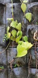 Devil's ivy or Epipremnum aureum also known as