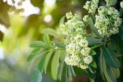 Devil tree or blackboard Tree ( Alstonia scholaris ) with flowers have a pungent smell