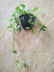 Devils ivy or sirih gading. In hanging pot. Selective focus or out of focus.
