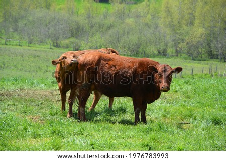 Devon is an ancient breed of cattle from the south western English county of Devon. It is a rich red or tawny colour, and this gives rise to the popular appellation of Devon Ruby or Red Ruby Photo stock ©
