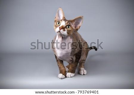 Devon Rex bicolor cat Foto d'archivio ©