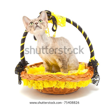 Devon Rex cat in a basket on a white background. Isolated