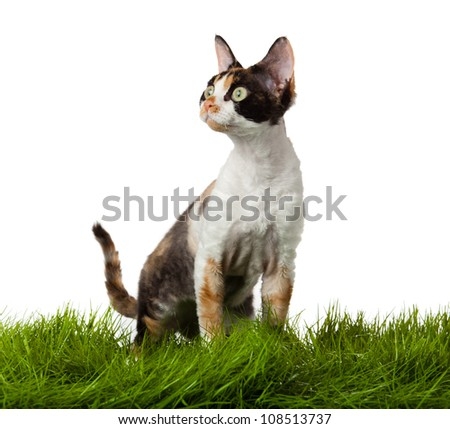 Devon Rex cat in the grass. isolatet on white.