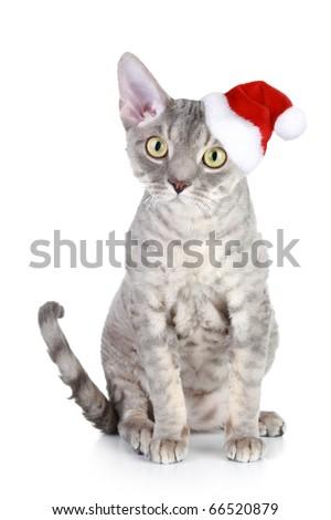 Devon Rex cat in xmas red hat on a white background