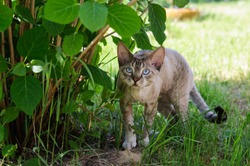 Devon rex cat outdoors. A grey cat with blue eyes. Curly cat with striped tail on fresh green grass