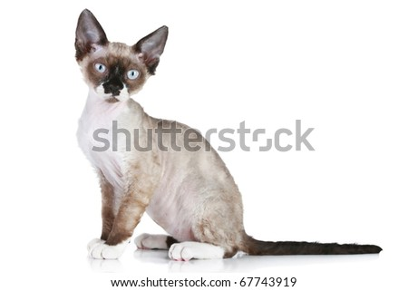 Devon-Rex cat sitting on a white background - stock photo