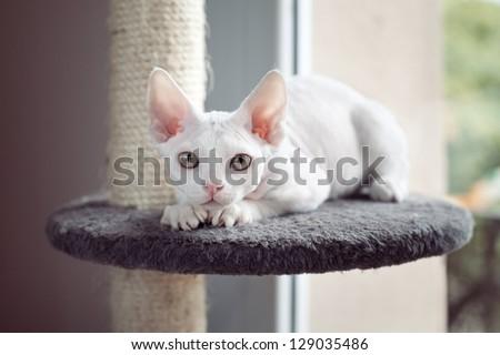 Devon rex cat sitting on scratching post